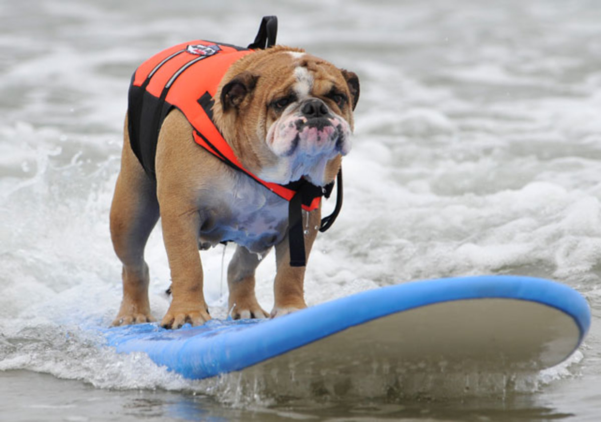 bulldog-surf.jpg