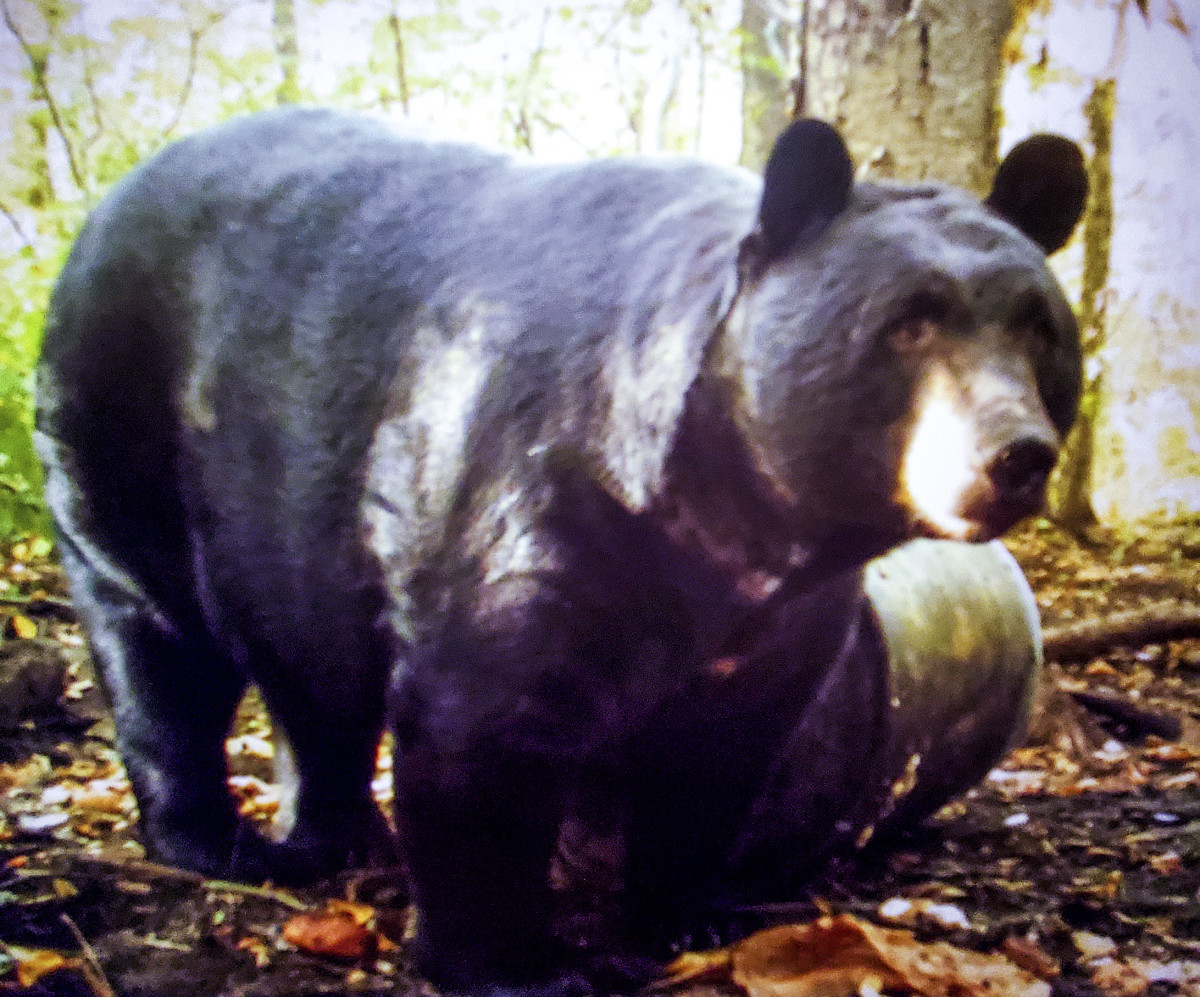 Melillo's black bear, baited by a barrel of sugary sweets.