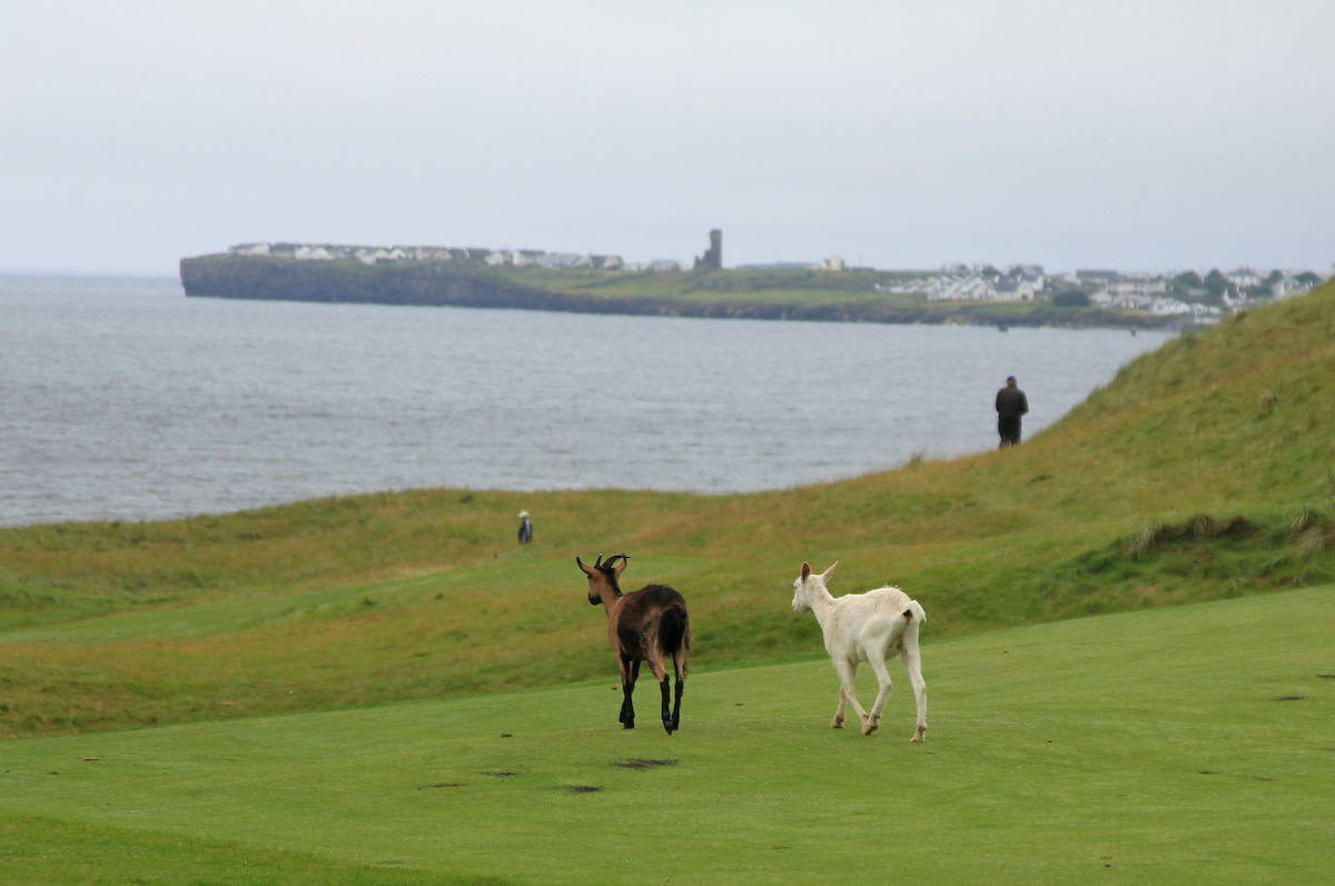 At Lahinch, if the goats are roaming about, then that's a sign that the weather is just fine.