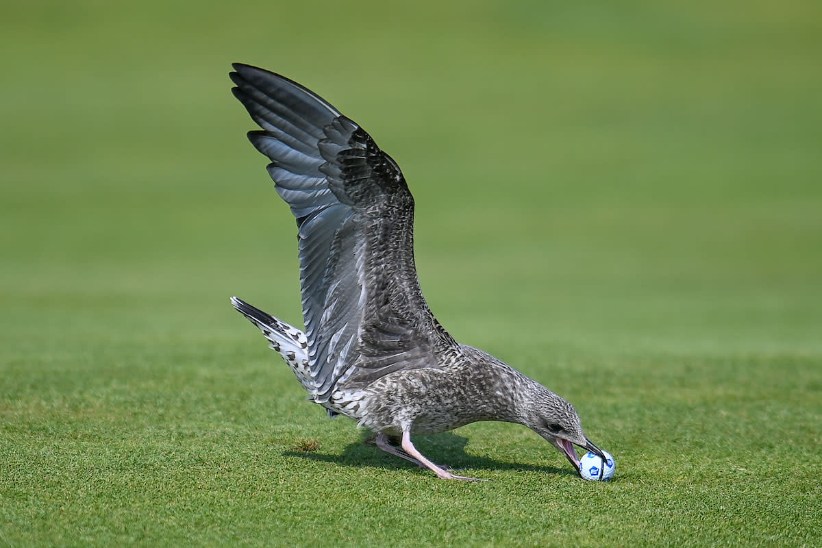 This is the seagull who picked up Madeline Sagstrom's drive.Golffile | Calum Mackenzie